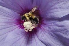 Abeille rassemblant le pollen Image libre de droits