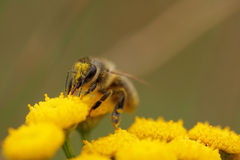 Abeille rassemblant le pollen image stock