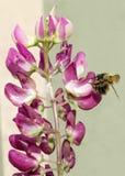 Abeille rassemblant le pollen d'un lupin Photographie stock libre de droits