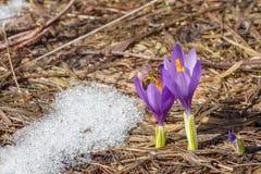 Abeille rassemblant le pollen du crocus image stock