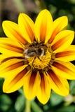 Abeille rassemblant le pollen sur une fleur Photo stock