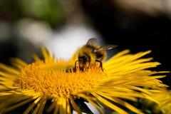 Abeille recueillant le miel photo libre de droits