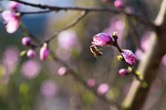 Abeille recueillant le miel Photographie stock libre de droits