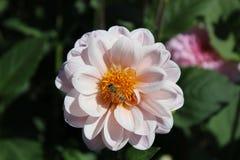Abeille recueillant le nectar Photo stock