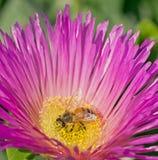 Abeille recueillant le pollen Photo libre de droits