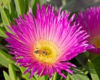 Abeille recueillant le pollen Images libres de droits