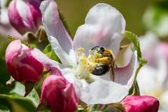 Abeille recueillant le pollen d'une fleur de pommier images stock
