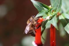 abeille regardant le nectar Images libres de droits