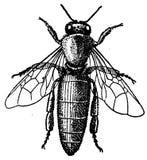 abeille-reine Royalty Free Stock Image