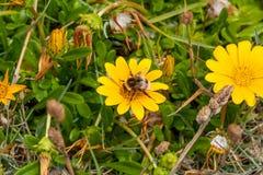Abeille remplie de pollen sur la marguerite jaune Images libres de droits