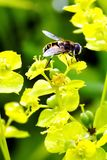 Abeille sauvage un matin frais d'été de fleur jaune après une pluie Photographie stock libre de droits
