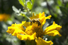Abeille solaire Image stock