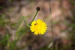 Abeille stingless indigène australienne sur une fleur jaune de pissenlit images libres de droits