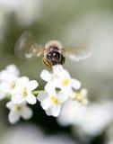 Abeille sur de petites fleurs blanches en nature Photo libre de droits
