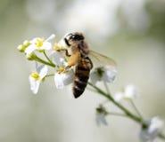 Abeille sur de petites fleurs blanches en nature Images libres de droits