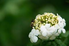 Abeille sur des fleurs Photo stock