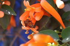 Abeille sur des fleurs photos libres de droits