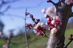 Abeille sur des fleurs d'abricot Images stock