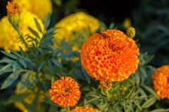 Abeille sur des fleurs de camara de lantana Image libre de droits