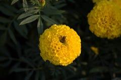 Abeille sur des fleurs de camara de lantana Image stock