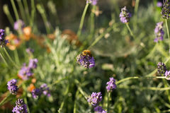Abeille sur des fleurs de lavande Image stock