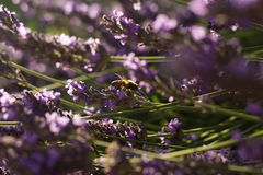 Abeille sur des fleurs de lavande Photographie stock libre de droits