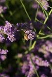 Abeille sur des fleurs de lavande Photographie stock