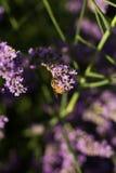 Abeille sur des fleurs de lavande Photo libre de droits