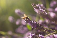 Abeille sur des fleurs de lavande Photo stock