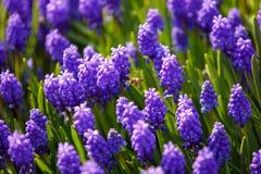 Abeille sur des fleurs de muscari