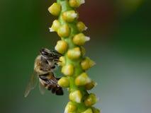 Abeille sur des fleurs de paume Image stock