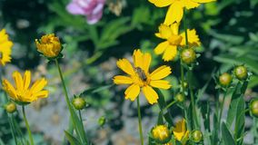 Abeille sur la fin jaune de fleur  L'abeille rassemble la poussière de fleur au champ Insectes volant au-dessus du champ de flora banque de vidéos