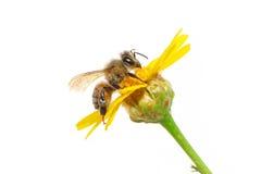 Abeille sur la fleur Image libre de droits