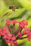 Abeille sur la fleur 4 Photographie stock libre de droits