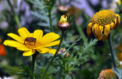 Abeille sur la fleur Images stock