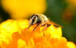 Abeille sur la fleur Photo libre de droits