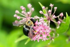 Abeille sur la fleur Photographie stock libre de droits