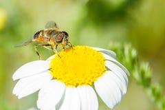 Abeille sur la fleur Photos libres de droits