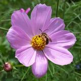 Abeille sur la fleur Photographie stock