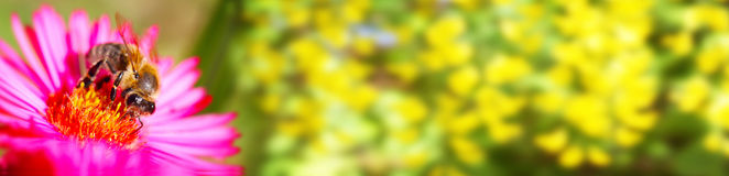 Abeille sur la fleur, bannière, fleurs, bokeh photos stock