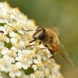 Abeille sur la fleur blanche Photo stock