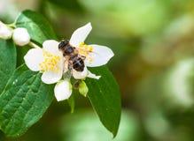 Abeille sur la fleur blanche Photographie stock libre de droits