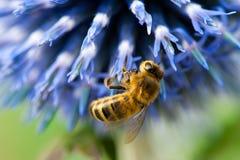 Abeille sur la fleur bleue photo libre de droits