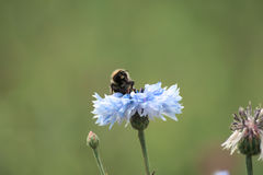 Abeille sur la fleur bleue Photographie stock libre de droits