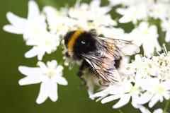 Abeille sur la fleur (Bombus Sorensis) Photo libre de droits