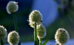 Abeille sur la fleur d'allium Image libre de droits