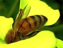 Abeille sur la fleur d'herbe aigre Images libres de droits