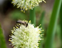 Abeille sur la fleur d'oignon Image stock