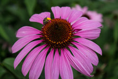 Abeille sur la fleur de cône Photo libre de droits