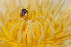 Abeille sur la fleur de lotus jaune Image libre de droits